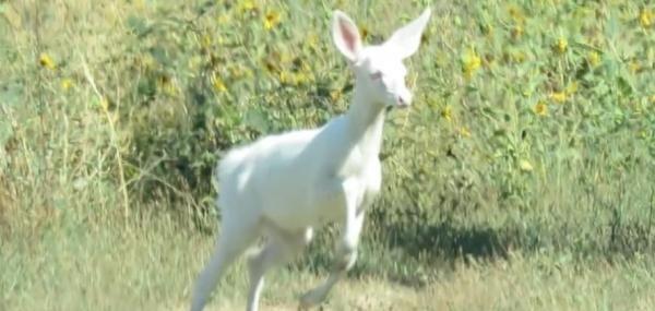 Rare albino deer spotted near Sacramento sanitation plant