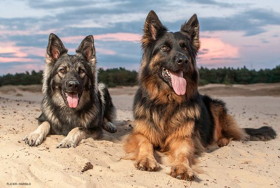 """Everything About The German Shepherd: History, Temperament, Behavior & More  Did you know German Shepherds are known as """"One-Man"""" breed because of their extreme loyalty to one person?"""