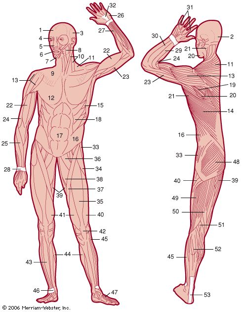an analysis of muscle function and anatomy in sports Biomechanics of skeletal muscle 4  length of the fibers within a muscle is a function of the archi-tecture of that muscle rather than of the muscle's total length.
