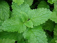 Melissa officinalis Lemon Balm- I've got some of this for the yard :)