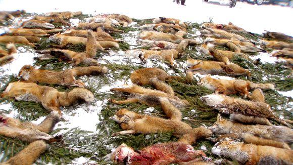 Petition · Stoppt das geplante Fuchsmassaker im Kreis Euskirchen am 07. und 08. Februar · Change.org