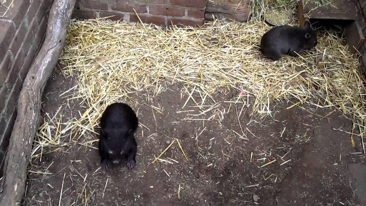In folgendem Video können wir den Baby Wombats Jojo and Dj beim spielen zu sehen