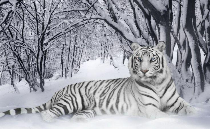 Poze Tigri Albi HD Wallpaper