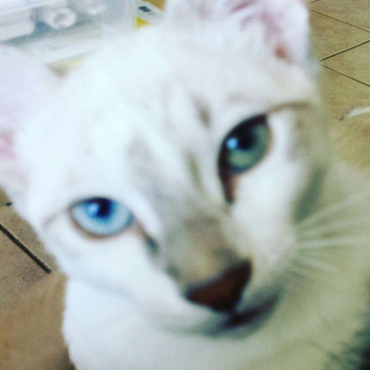 Stitch #closeup #blurry #cat #oddeyes