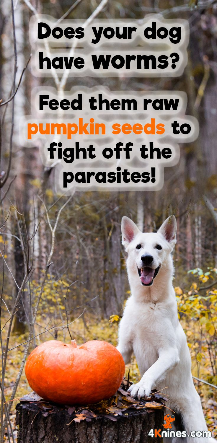 The amino acid in pumpkin seeds, cucurbitin, helps your dog naturally fight off nasty intestinal parasites like worms. Make sure to feed your dog a small handful of raw, unflavored, unsalted pumpkin seeds.