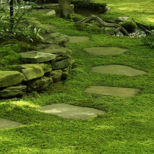 Sheet Moss - Hypnum Cuppresiforme - really wish my husband would give up on grass and embrace moss for the yard