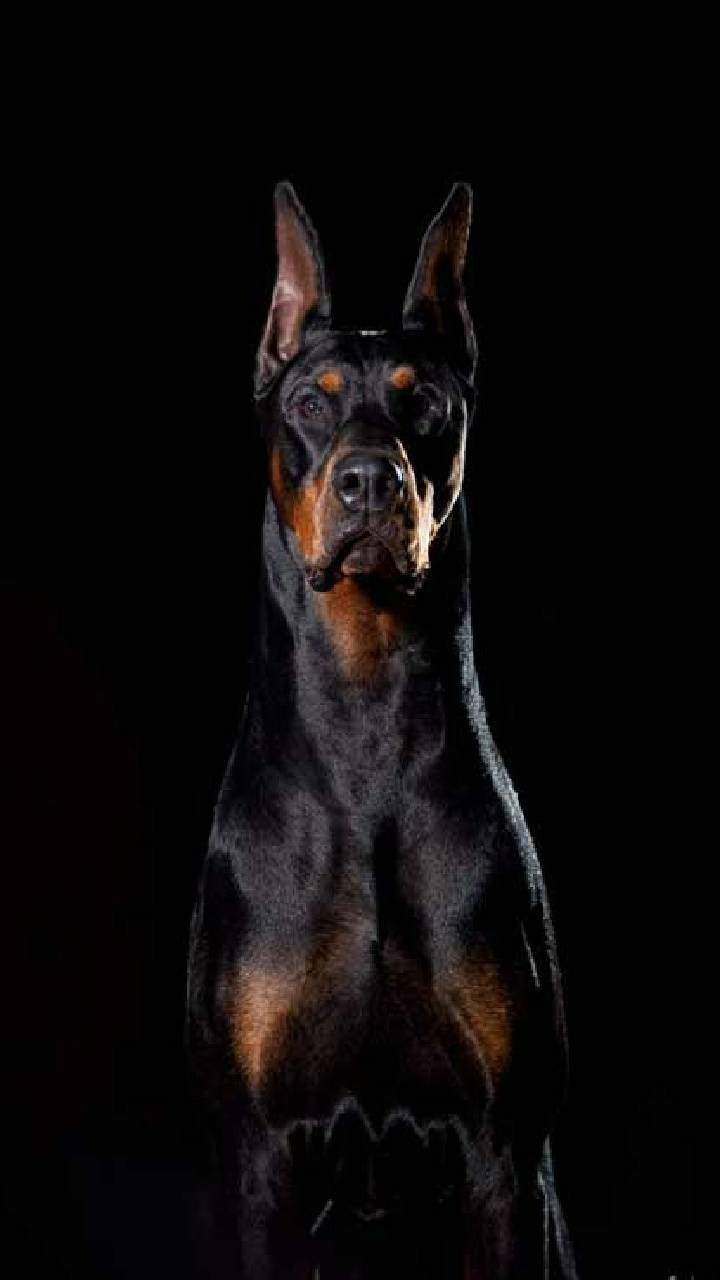 Download Diablo Wallpaper By Winstonsmom D3 Free On Zedge Now Browse Millions Of Popular Background Wallpa Scary Dogs Doberman Pinscher Dog Doberman Dogs Doberman dog hd wallpaper