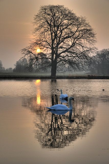 """coiour-my-world: """"Real swans in Langley Park by jerry_lake on Flickr. """""""