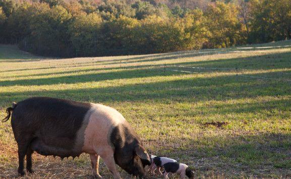 Free range cinta senese pigs at Tenuta Di Spannocchia in Tuscany, Italy