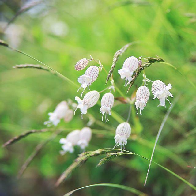 白玉草 Nurmikohokki  Silene vulgaris, or bladder campion
