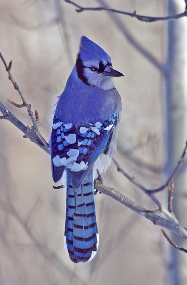 Blue Jay | MATIN LUMINEUX: Bleu comme....