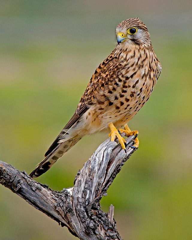 Common Kestrel (Falco Tinnunculus) a bird of prey and widespread throughout Europe, Asia and Africa
