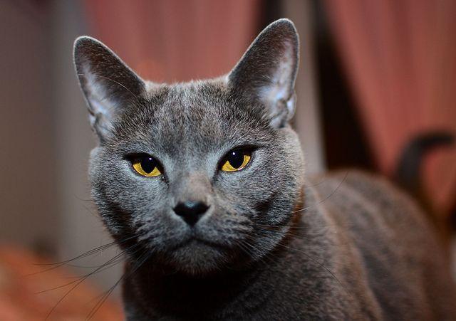 Chartreux cat   Creatu...
