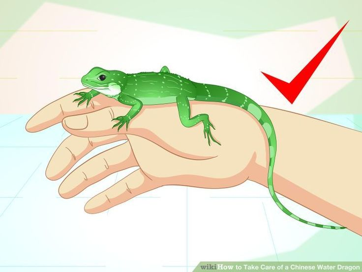 How to Take Care of a Chinese Water Dragon: 14 Steps