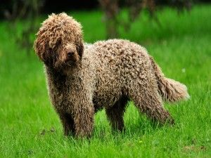 Perro lanudo sobre la hierba