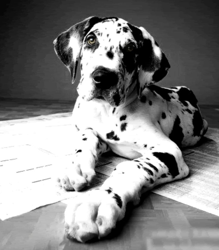 Fawn Harlequin Great Dane