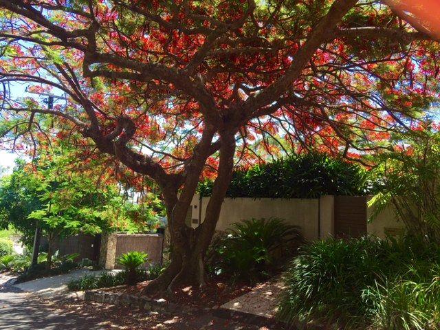 Magnificent Delonix regia Poinciana  Photo taken in Noosa Heads QLD Australia