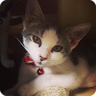 Philadelphia, PA - Domestic Shorthair. Meet Alexandra (foster care), a kitten for adoption. http://www.adoptapet.com/pet/15481056-philadelphia-pennsylvania-kitten