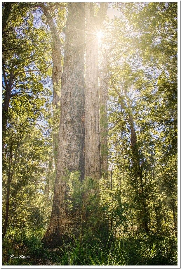 Valley of the Giants – Tree Top Walk, Western Australia