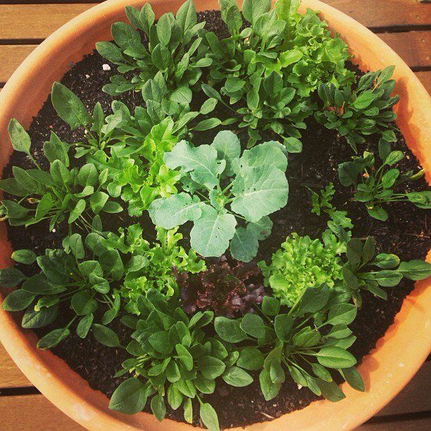 You don't need a big garden. If you live in an apartment plant your greens in a pot.
