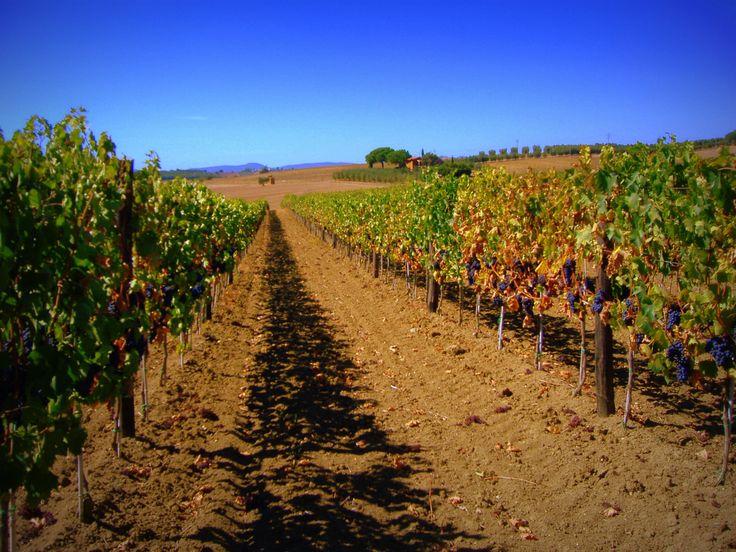 Morellino di Scansano Vineyards #maremma #tuscany #prodottitipici #localproducts #wine