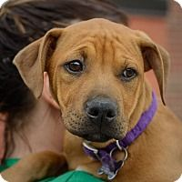 Shepherd (Unknown Type)/Boxer Mix Puppy for adoption in Detroit, Michigan - Amorae-Pending!