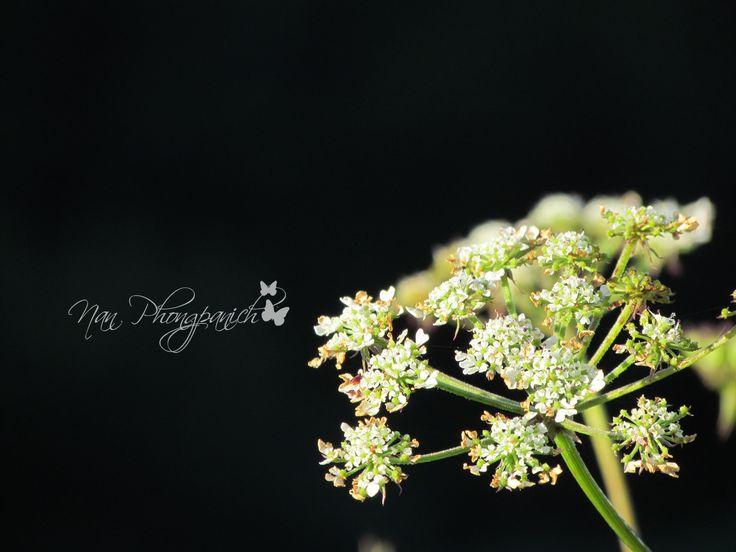 ดอกไม้ริมทาง [กิ่วแม่ปาน ดอยอินทนนท์] Canon PowerShort SX30 IS