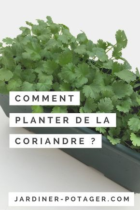 Comment planter de la coriandre ? http://jardiner-potager.com