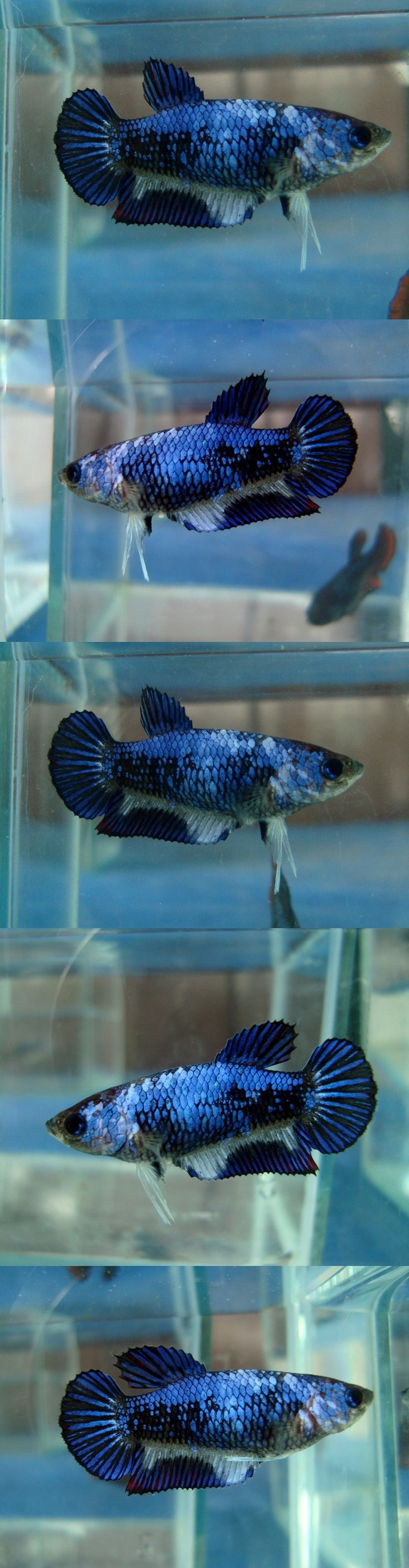 Cute little betta fish pets pinterest auction for Cute betta fish