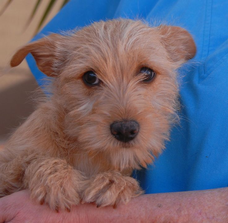 """Doesn't anyone want me?""  Dawn is a precious baby girl found near a busy Vegas intersection with no sign of responsible ownership (no ID tag, no microchip ID, not spayed).  Dawn is a small Terrier mix, 3 months of age, now spayed and debuting for adoption at Nevada SPCA (www.nevadaspca.org).  She enjoys playing with other dogs and warms up quickly with kind people.  Please help find her a forever home where she will be treasured and cared for properly."