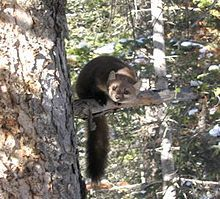 American Pine Marten. Going, going... severe extinction crises in Humboldt. He's cute, so he should be allowed to live. (The rules, yo.)