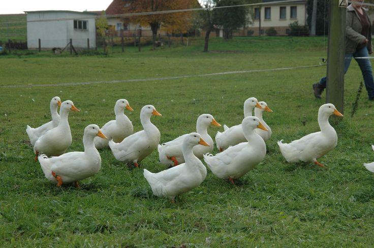 American Pekin duck - Wikipedia, the free encyclopedia