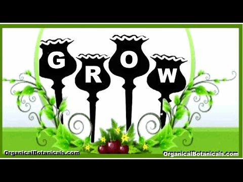 How to Grow Poppies | Growing Somniferum Poppy Flowers from Seeds via @jdubtbird  @eBay