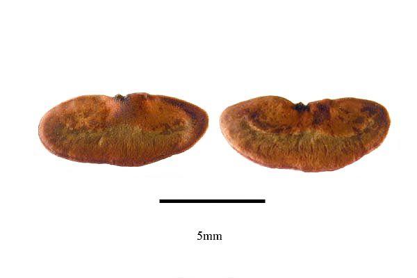 http://www.ars-grin.gov/npgs/images/sbml/Aphelandra_scabra_seeds.jpg