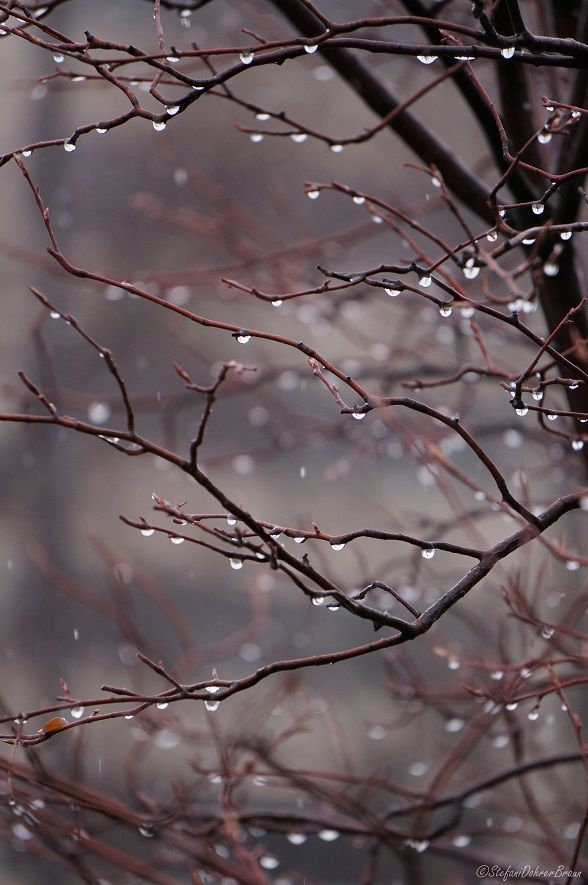 Frozen rain on a crabapple tree December 2013 the suburb of Minneapolis Minnesota