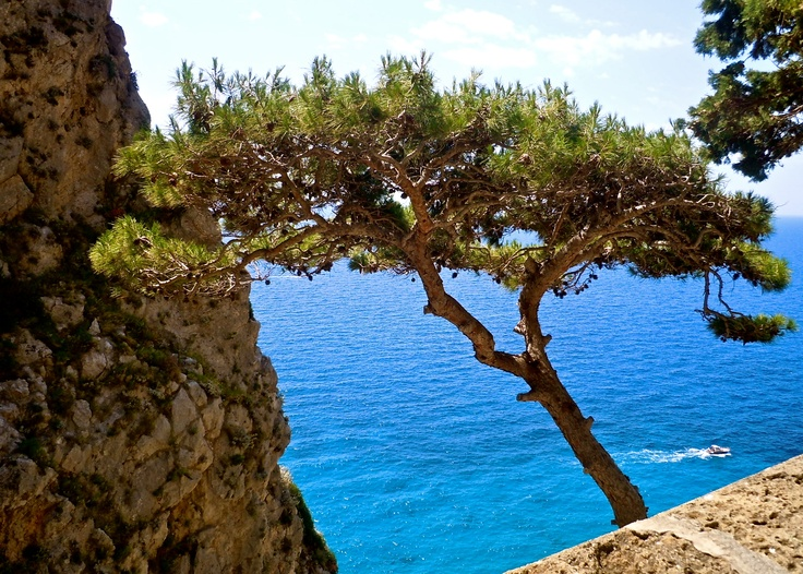 The Mediterranean Pine - stunning scent and beauty