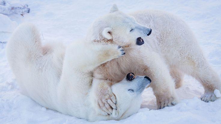 Polar bears frolicking in the snow in Ranua Wildlife Park -Lapland, Finland
