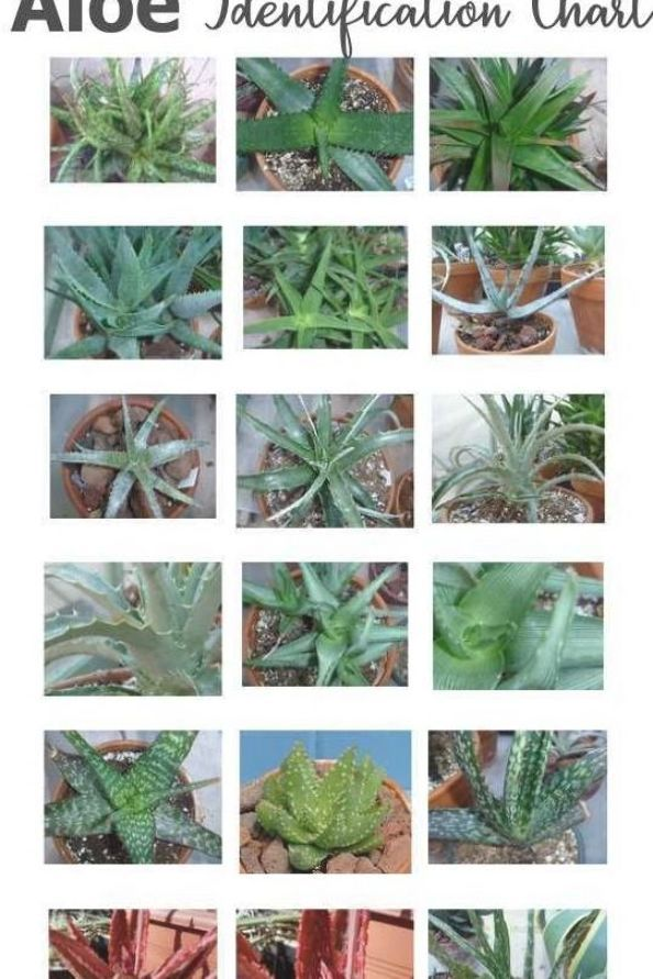 Pin On Succulent Identification Charts