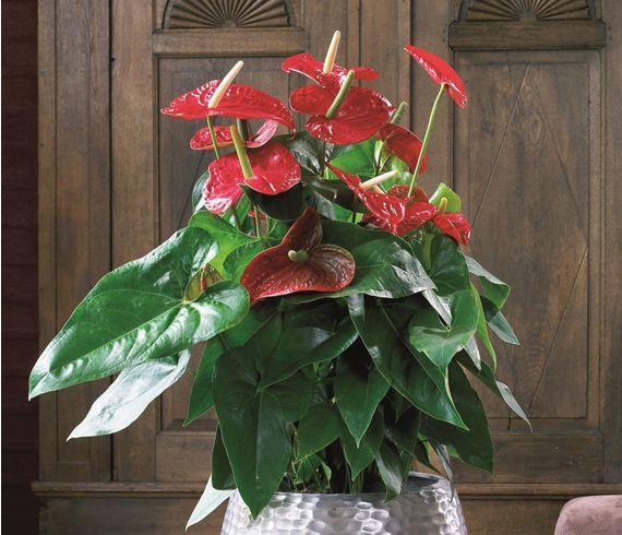 Red-Anthurium