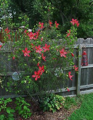 Hibiscus Coccineus Red Texas Swamp Mallow Plants I Love