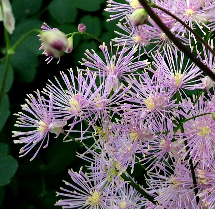 Meadow Rue in full bloom  MotelCottagesSpring. 59 best Spring Around Ada s Place Motel Cottages images on