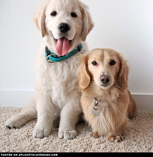 golden retriever and dachshund - Google Search
