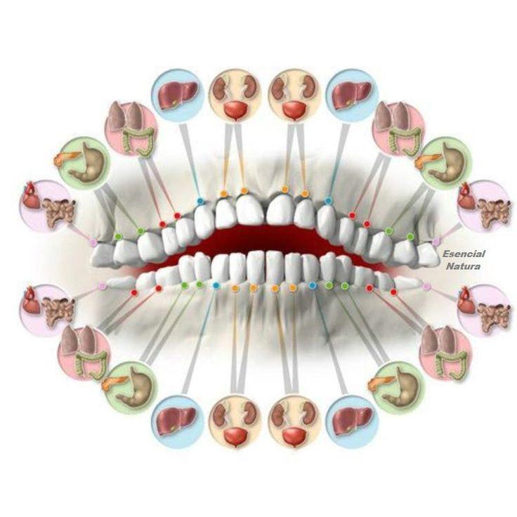 Cada diente está asociada con los órganos del cuerpo El Dolor En cada diente puede predecir problemas en órganos asociados. Incluso el más mínimo daño al diente puede suponer problemas en un órgano equivalente en el cuerpo. Los incisivos superiores e inferiores (primero y segundo) reflejan el estado de los riñones, la vejiga, los oídos…