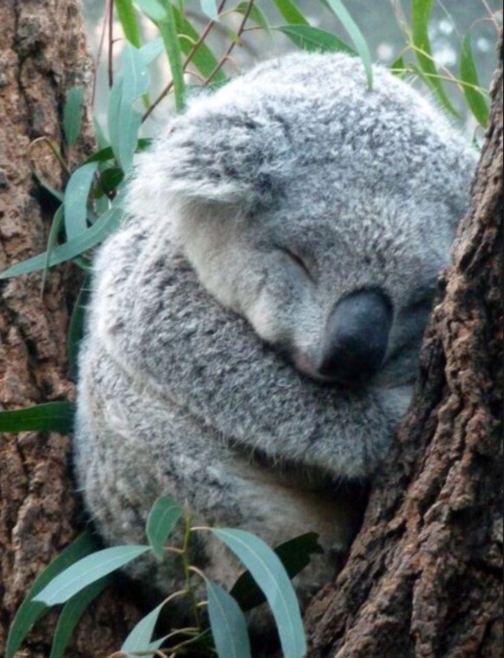 Les 26 meilleures images du tableau Koalas sur Pinterest | Koalas ...