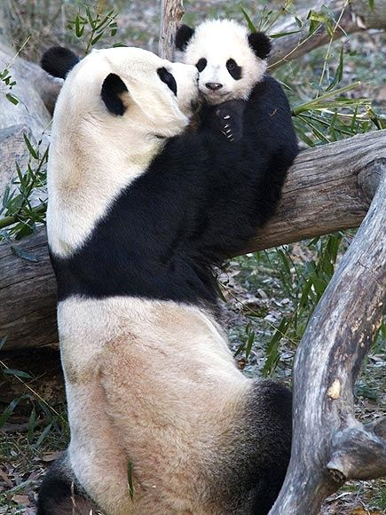 expression-venusia:  Mommy and Baby Panda Expression