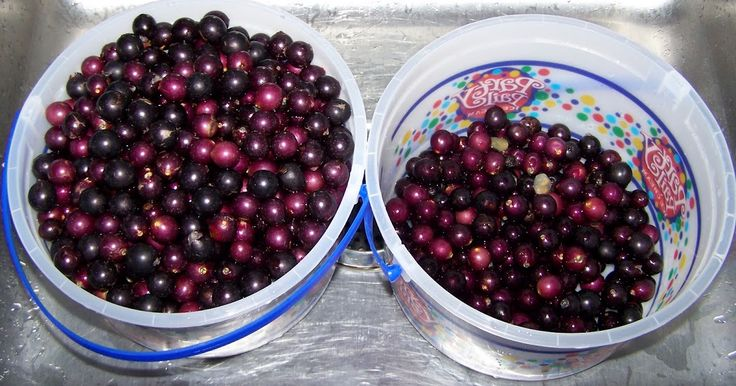 After homemade cherry wine, muscadine and blackberry are a tie for second. On the heels of bottling the blackberry wine  we started two mo...