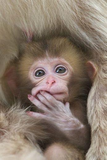 https://i.pinimg.com/736x/24/18/5b/24185bb6b0cc20161f0ce0e0c6bf859a--baby-poses-snow-monkey.jpg