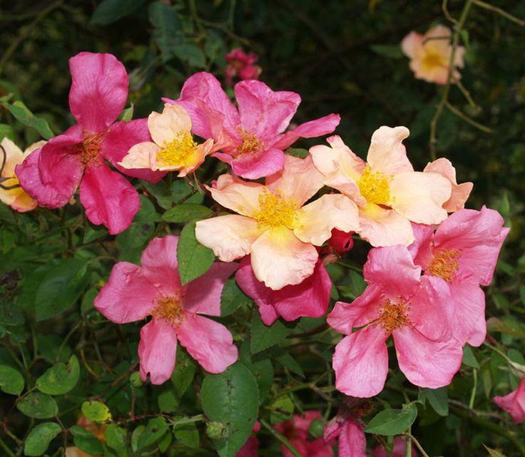 'Mutabilis' * (pre 1894) – syn. 'Butterfly Rose', 'Tipo Ideale'- AGM 1993 - Hall of Fame Old Roses 2012. Chinese roos. Puntige vlamkleurige knoppen. Enkele bloemen (5-6cm) die van zacht ambergeel verkleuren naar koper-roze tot karmijn Blad klein, bruinachtig jong loof, later glanzend donkergroen. Fijnvertakt struikje, waarbij de bloemen als vlinders boven de plant zweven. Vraagt warme, beschermde standplaats. Zeer gezond. Tot 1m.