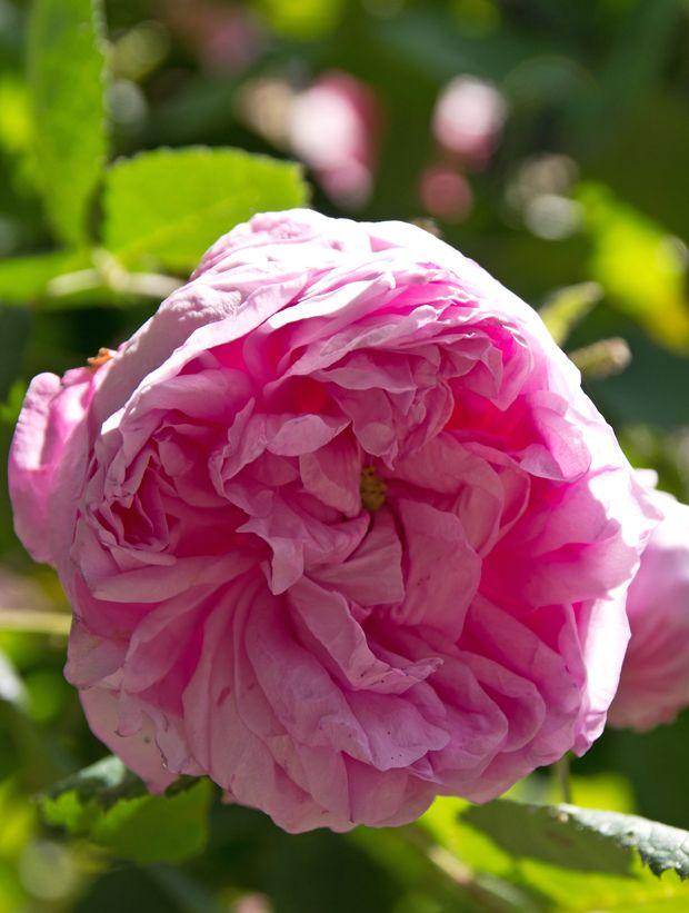 Når sommeren er slut, er det højsæson for at plante roser i haven. Vi guider dig her til 9 smukke og sunde sorter, der dækker ethvert behov i haven.