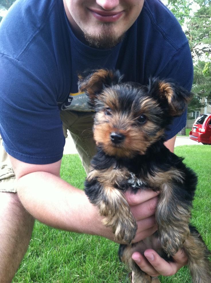 Miniture York Terrier